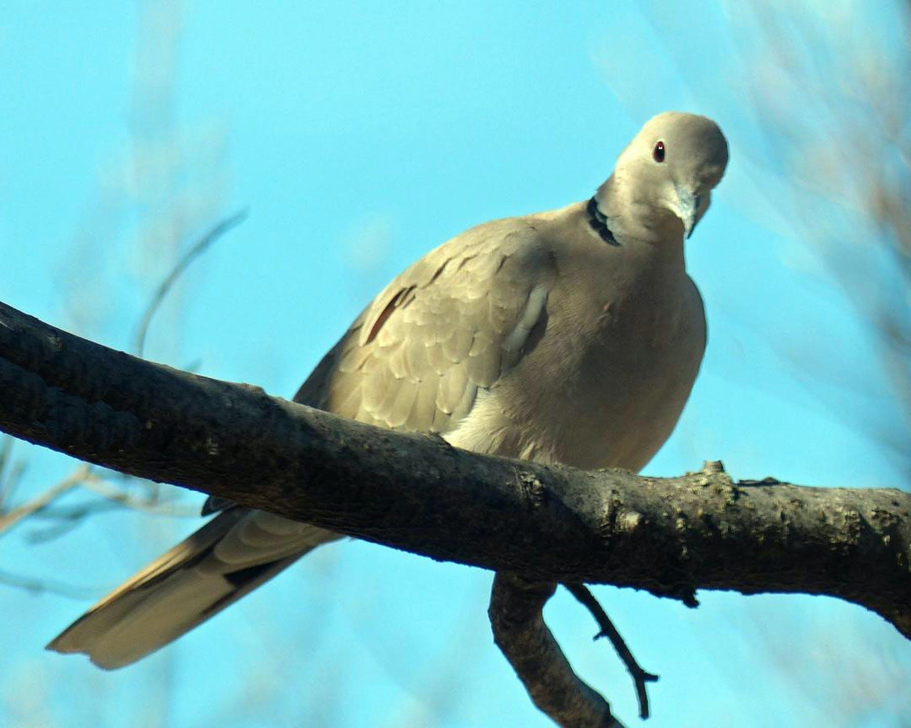 Free stock photo of dove