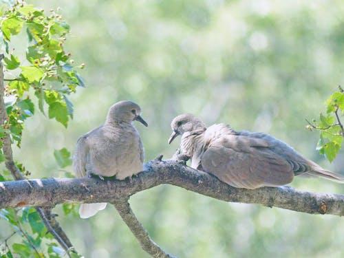 鳩の無料の写真素材
