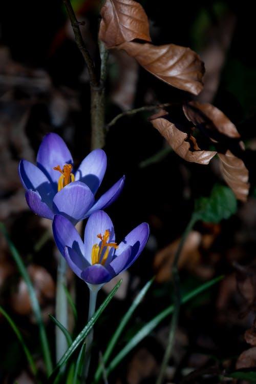 A Close-Up Shot of Crocus Flowers