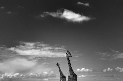 Giraffes standing in savanna in daylight