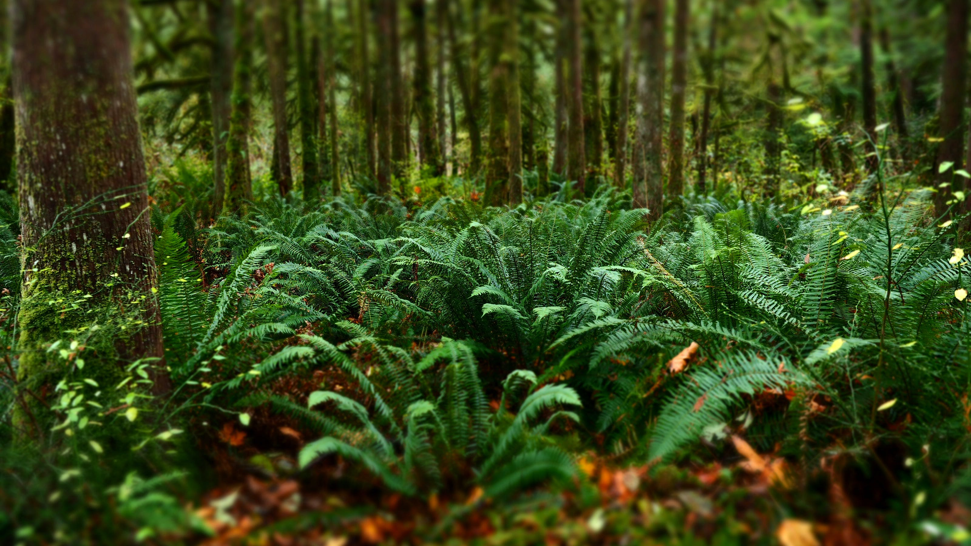 Free stock photo of bokeh, ferns, forest, nature