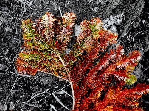Gratis lagerfoto af grannåle, nåle, natur, skov