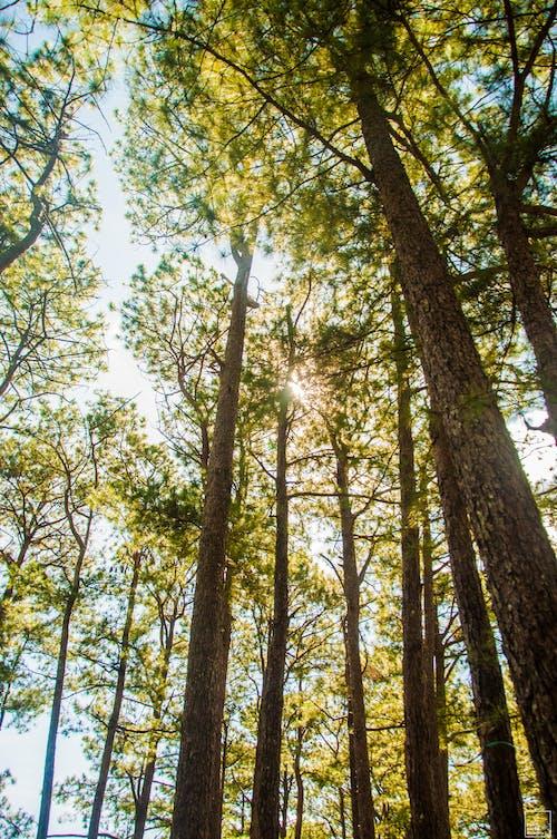 Free stock photo of nature, pine tree, trees