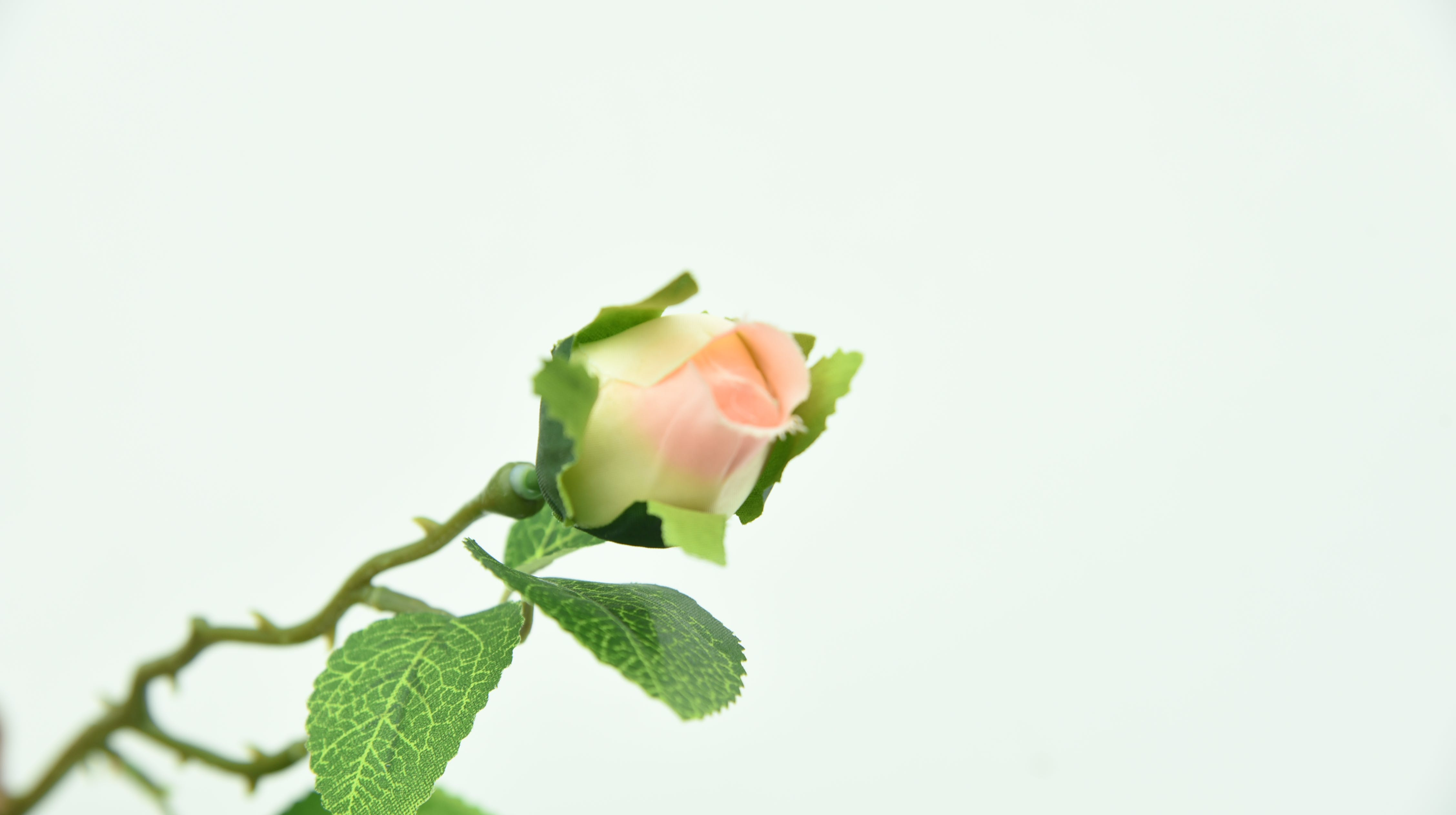 Free stock photo of green leaf, props, rose, white rose