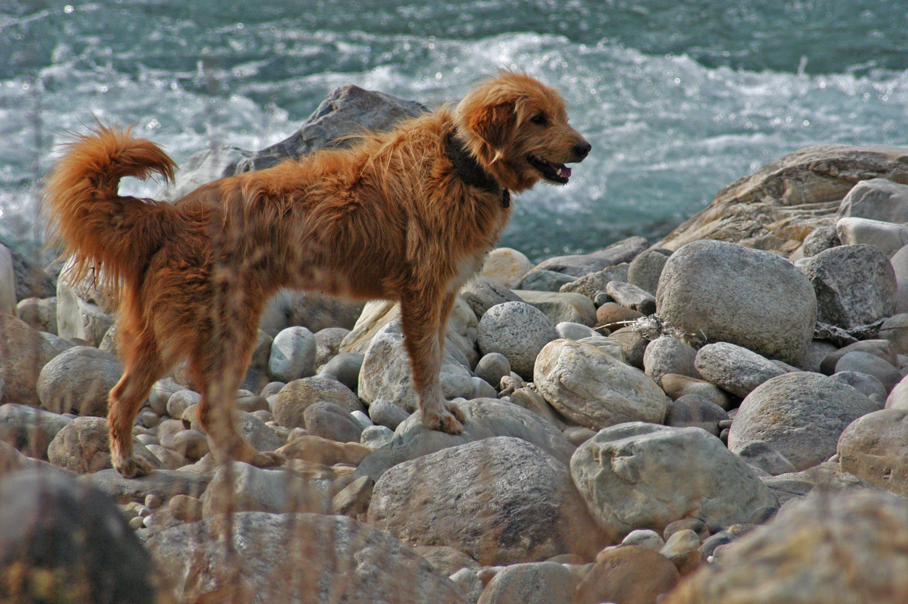 Labrador Dog Near Yhe Ocean