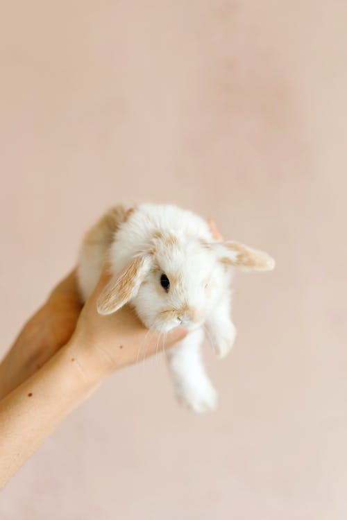 Person holding small rabbit in hands against light background