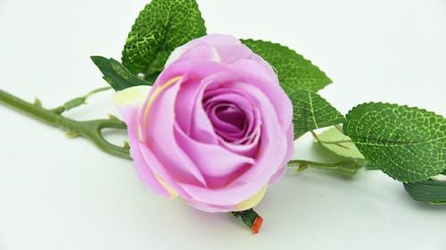 Δωρεάν στοκ φωτογραφιών με purple rose, όμορφα λουλούδια, ροζ λουλούδι, τριαντάφυλλο