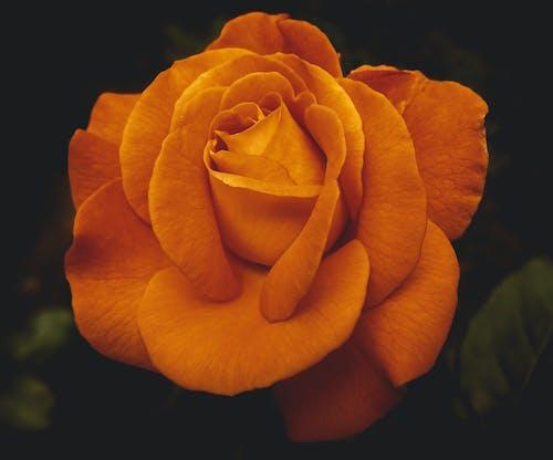 Close-Up Shot of an Orange Rose in Bloom
