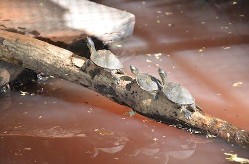 Imagine de stoc gratuită din animale de companie animale de companie, broasca testoasa se distreaza, tortoise imagini amuzante