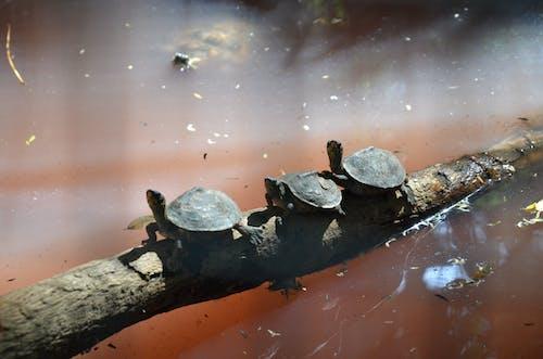 Imagine de stoc gratuită din broască țestoasă