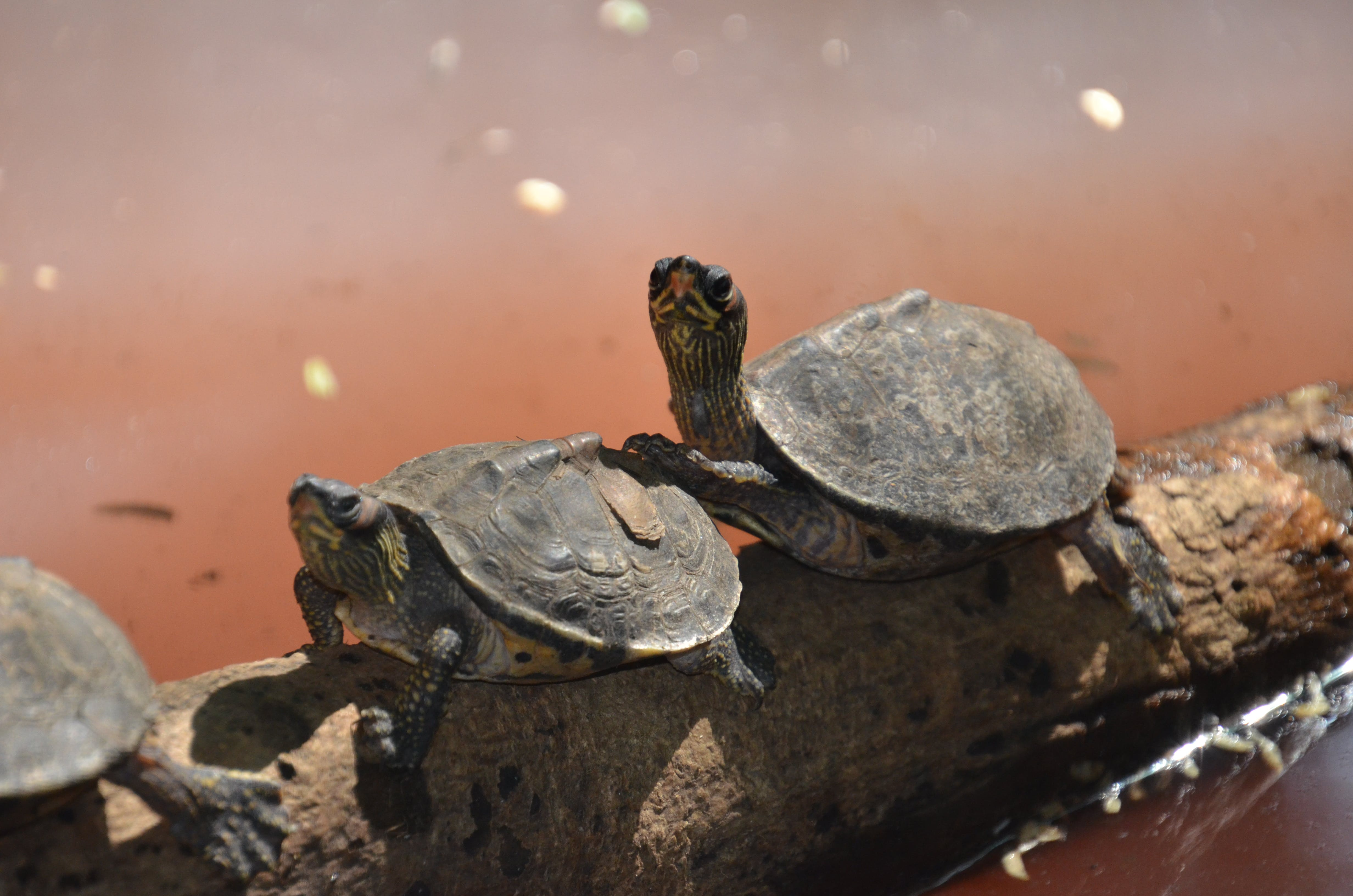 Two Brown Sea Turtle on Tree Branch