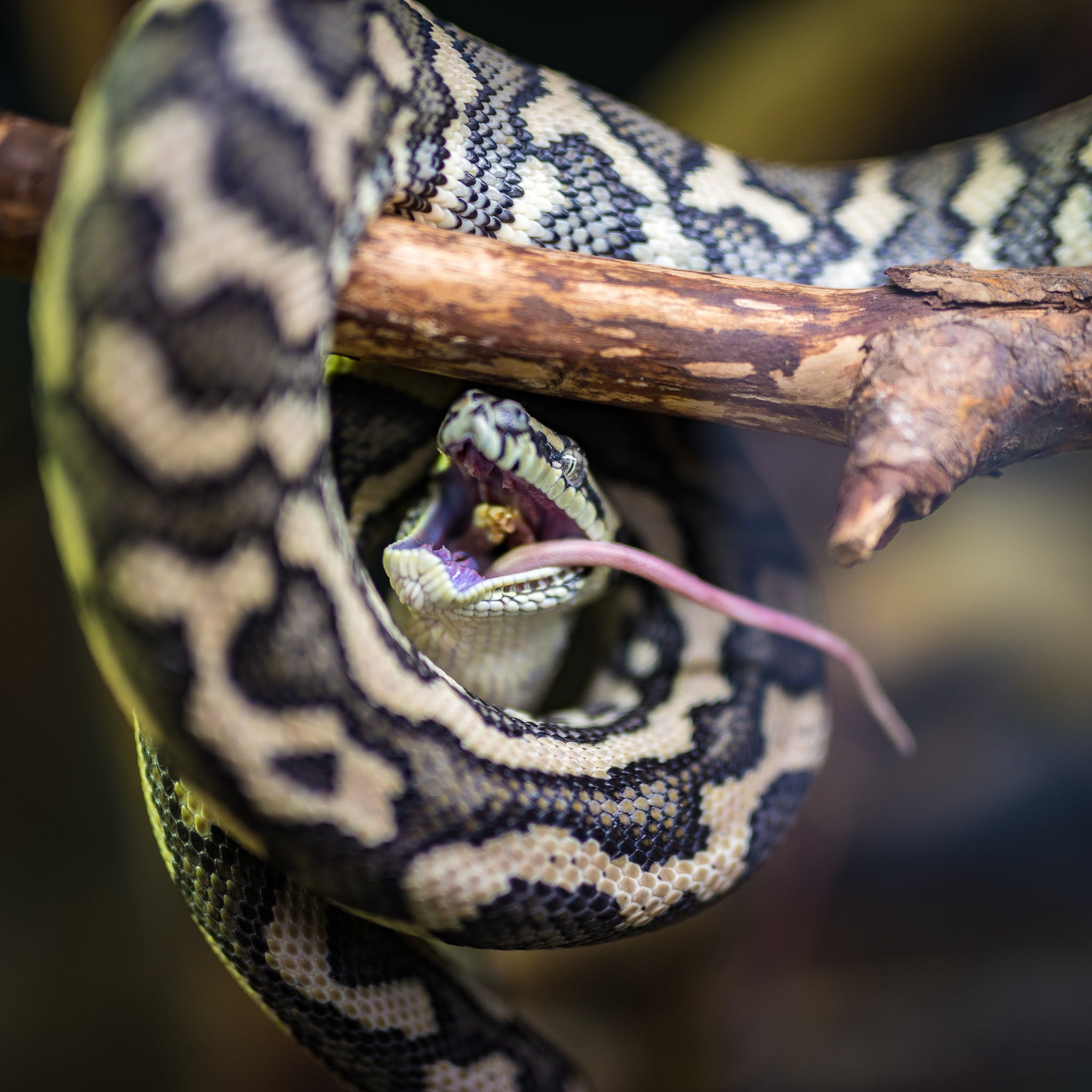 Free stock photo of animal, eat, nature, python