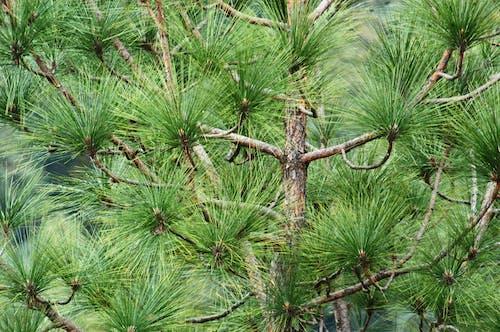 Ảnh lưu trữ miễn phí về cây thông, chi nhánh, môi trường, Thiên nhiên