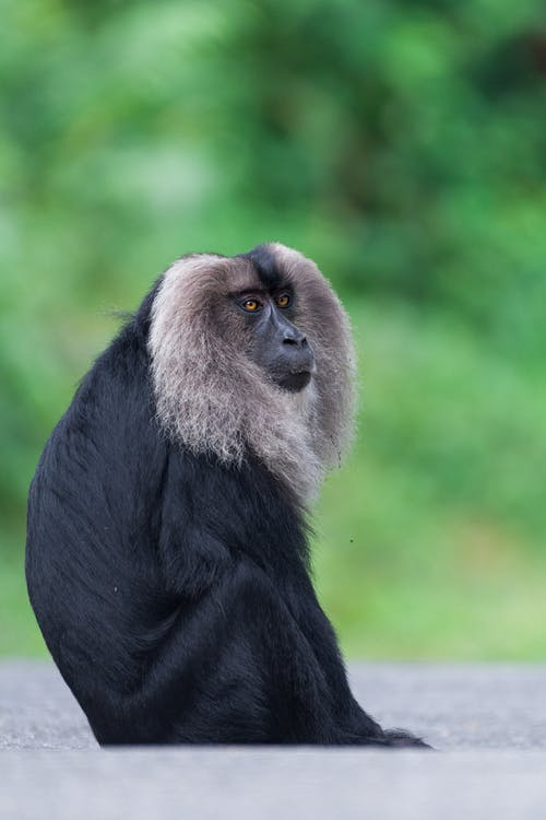 Close-Up Shot of a Lion-Tailed Macaque