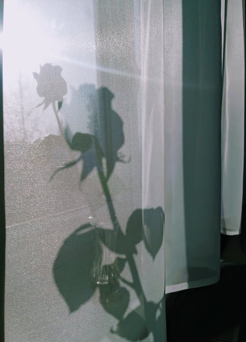 Blooming rose in vase on windowsill against curtain with shade