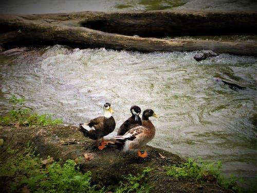 Free stock photo of duck bird