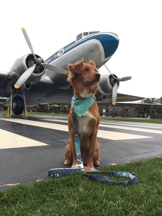Free stock photo of dog plane