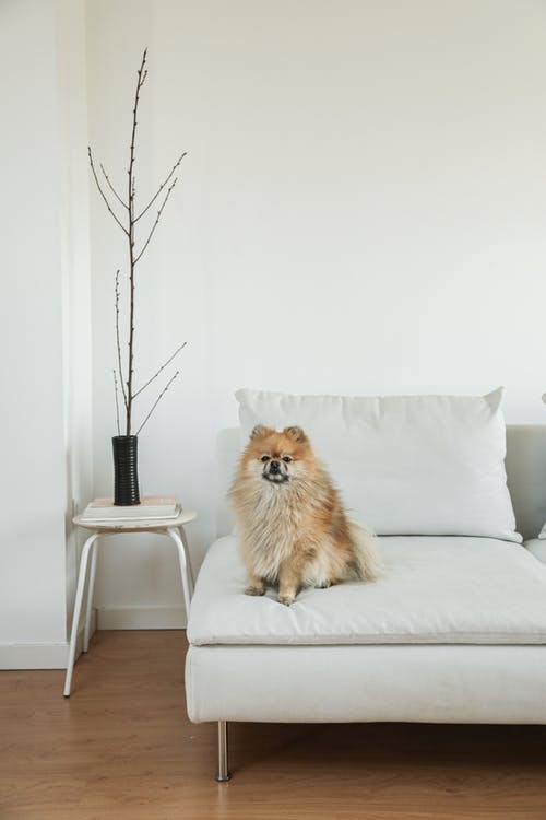 Brown Pomeranian on White Bed