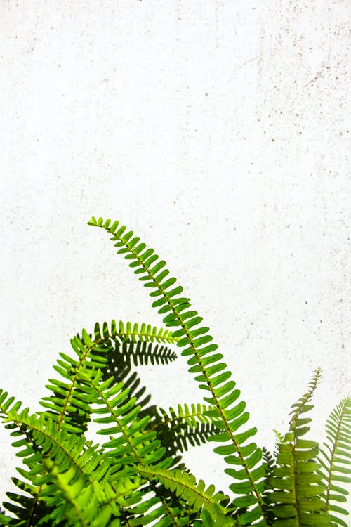 Verdant fern with thin long stems growing in sunshine against white concrete wall
