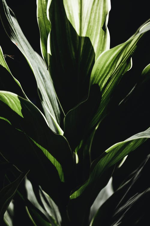 Green plant with long leaves against black backdrop