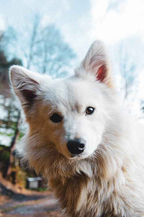 Close-Up Shot of a Japanese Spitz Dog