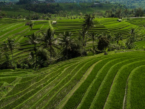 Gratis lagerfoto af grøn, Indonesien, landbrug