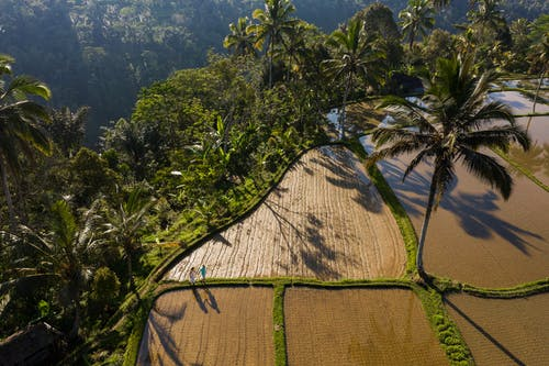 Drone view of brown agricultural fields with anonymous people walking near green tropical palms and bushes in summer sunny day in countryside