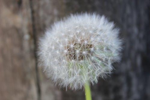 คลังภาพถ่ายฟรี ของ การเจริญเติบโต, ดอกแดนดิไลออน, ธรรมชาติ, พร่ามัว