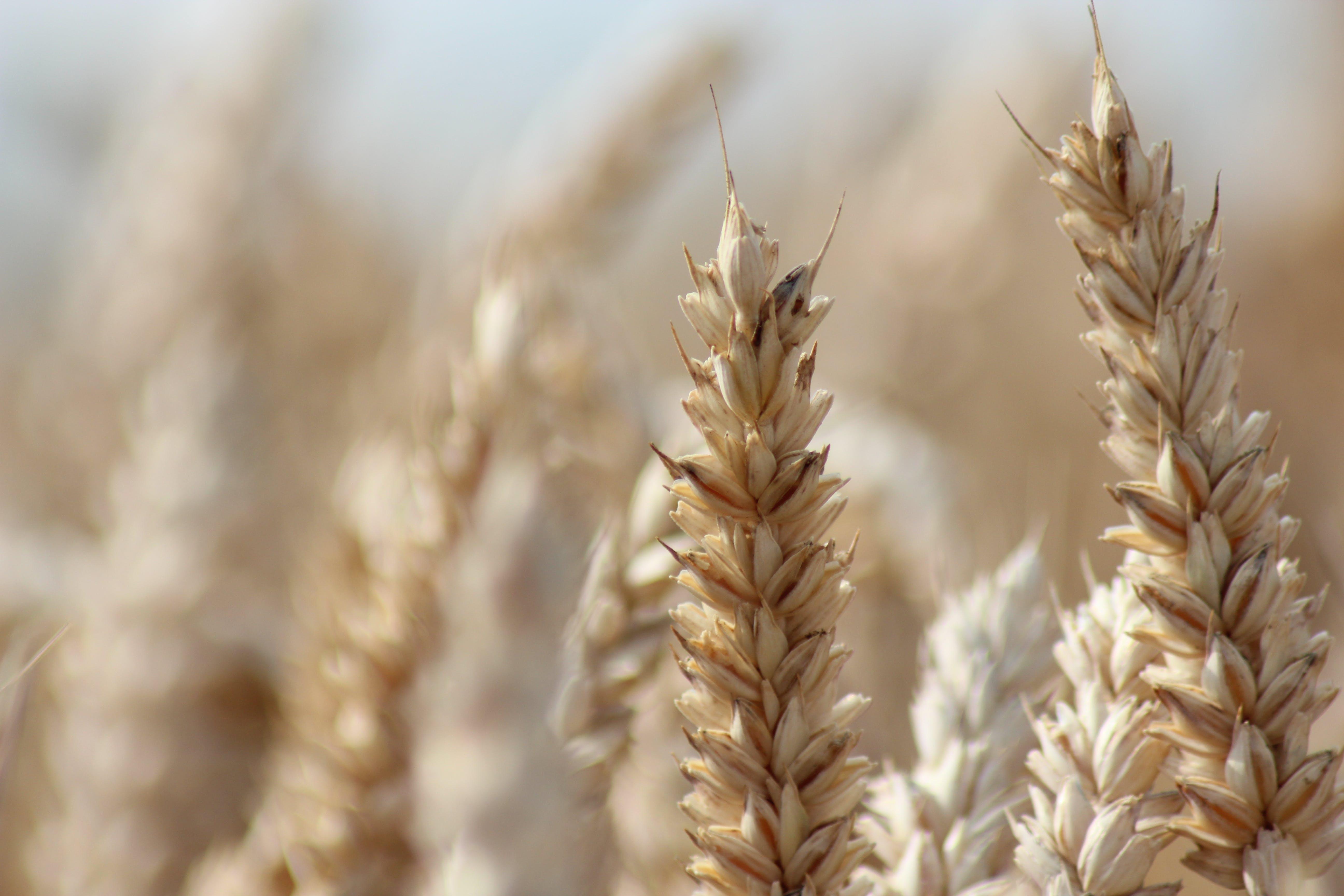 Free stock photo of nature, wheat