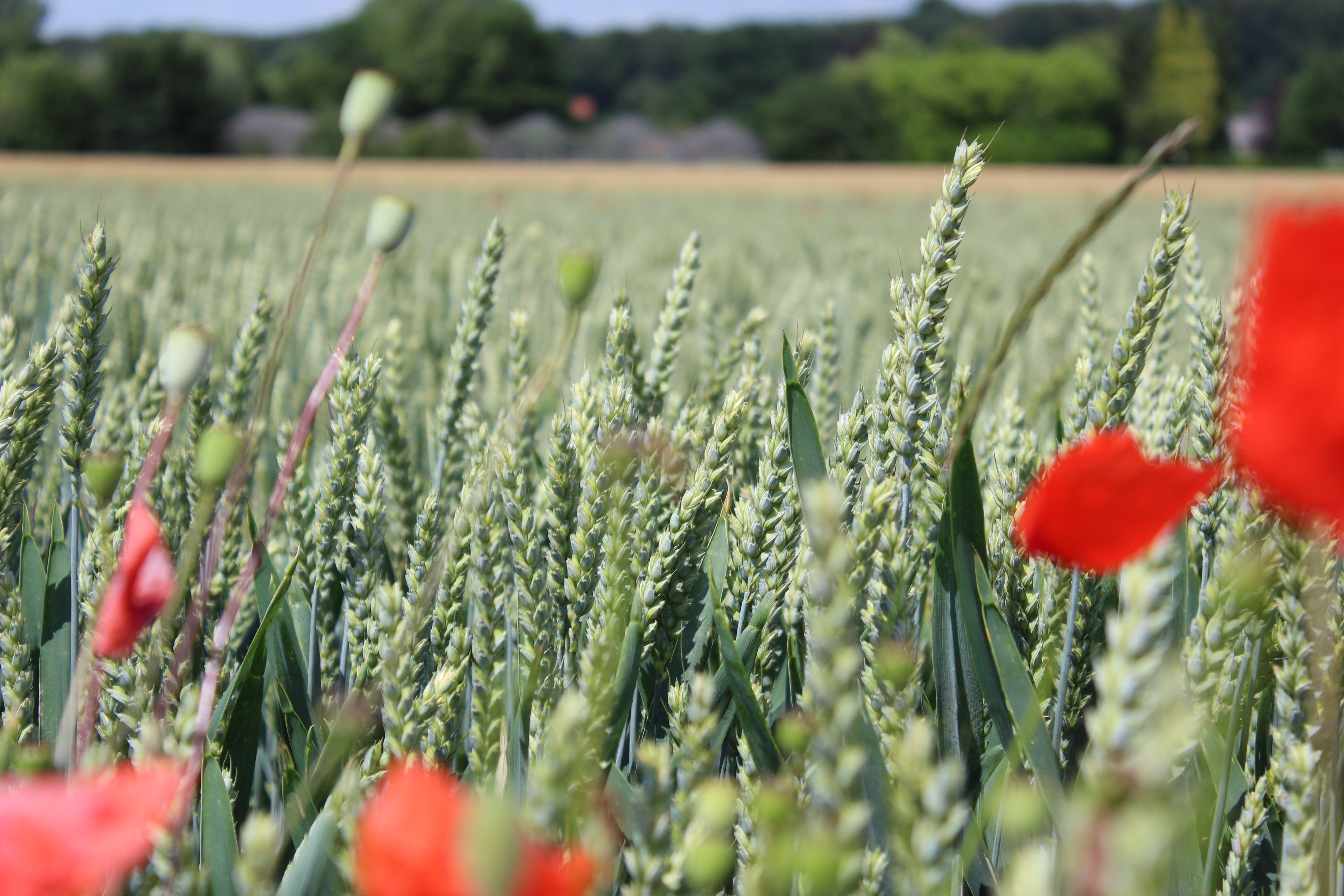 Free stock photo of nature, poppy flowers