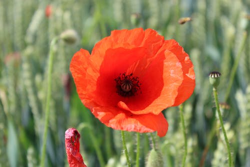 Free stock photo of nature, poppy flower
