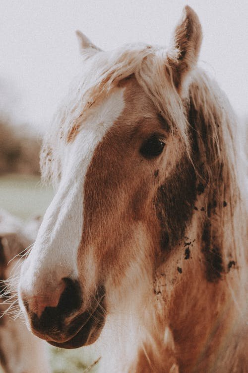 Brown horse with white muzzle and furry mane looking at camera in sunny day in ranch