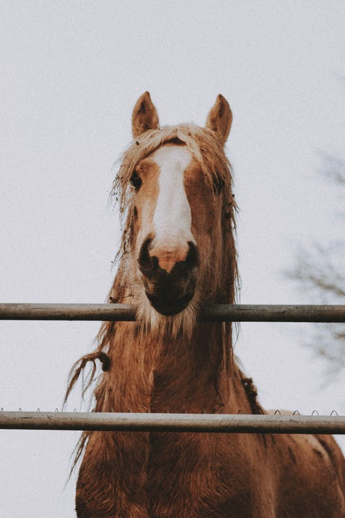 Brown horse with white muzzle and furry mane looking at camera while standing near fence under gray sky in daylight in countryside