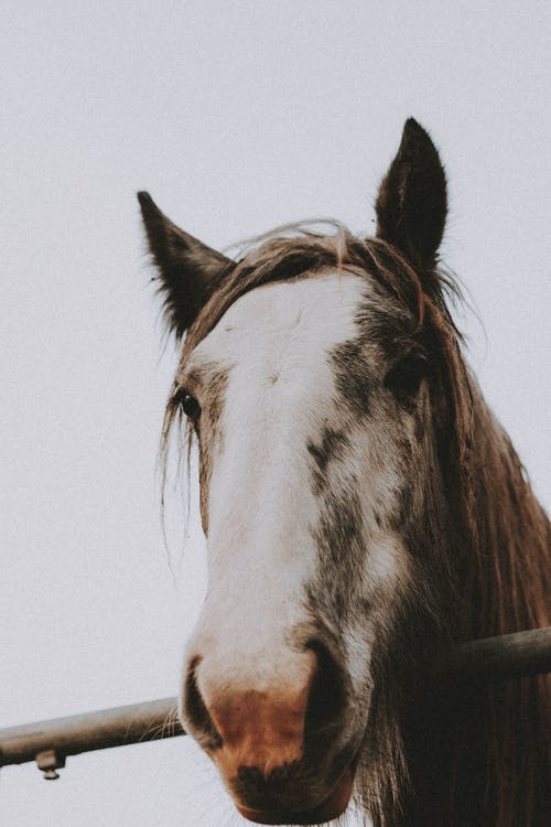 Brown horse with white muzzle and furry mane standing near fence while looking at camera under gray sky in countryside in daylight