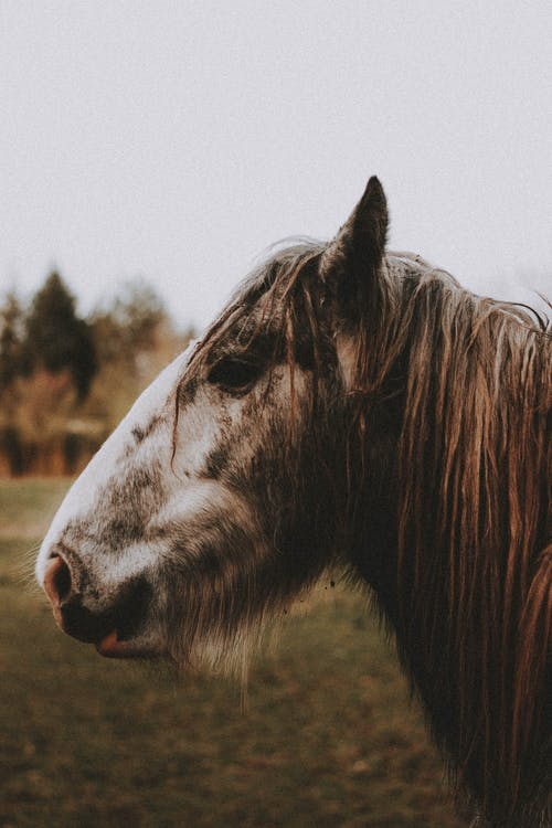 Side view of brown horse with white muzzle and furry mane on grassy lawn near trees under gray sky in nature in daylight
