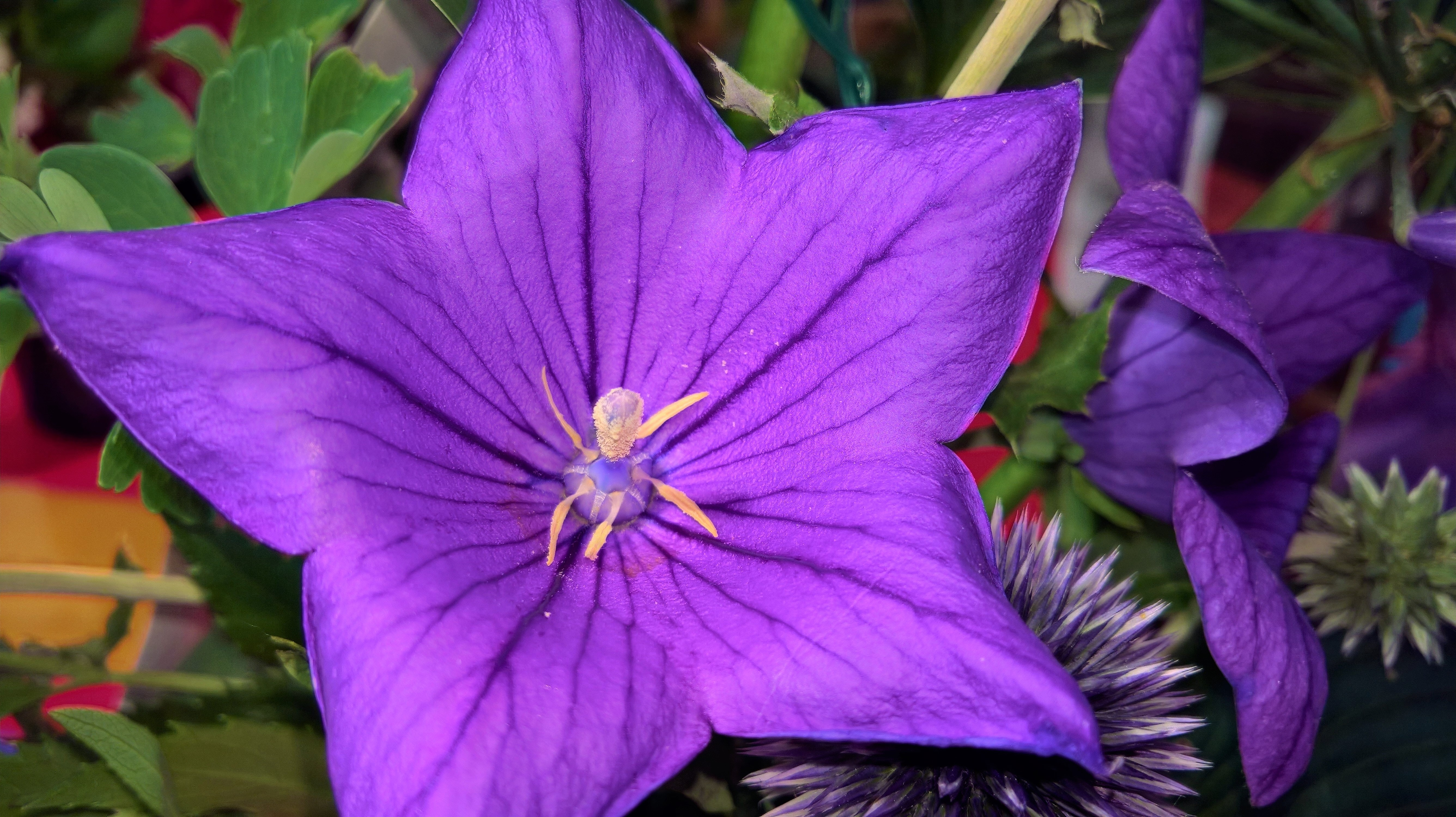 Free Stock Photo Of Flower Purple Flower Star Flower