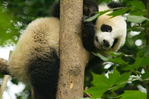 Panda Bear on Brown Tree Branch