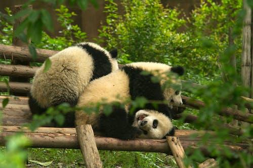 Pandas Playing Tree Branch