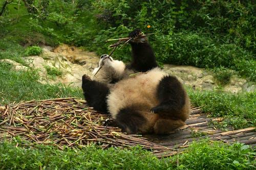 Panda on Brown Dried Leaves