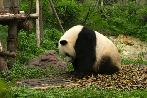 Panda Getting a Fresh Bamboo Sticks