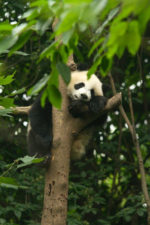 Panda Hanging on Tree Branch