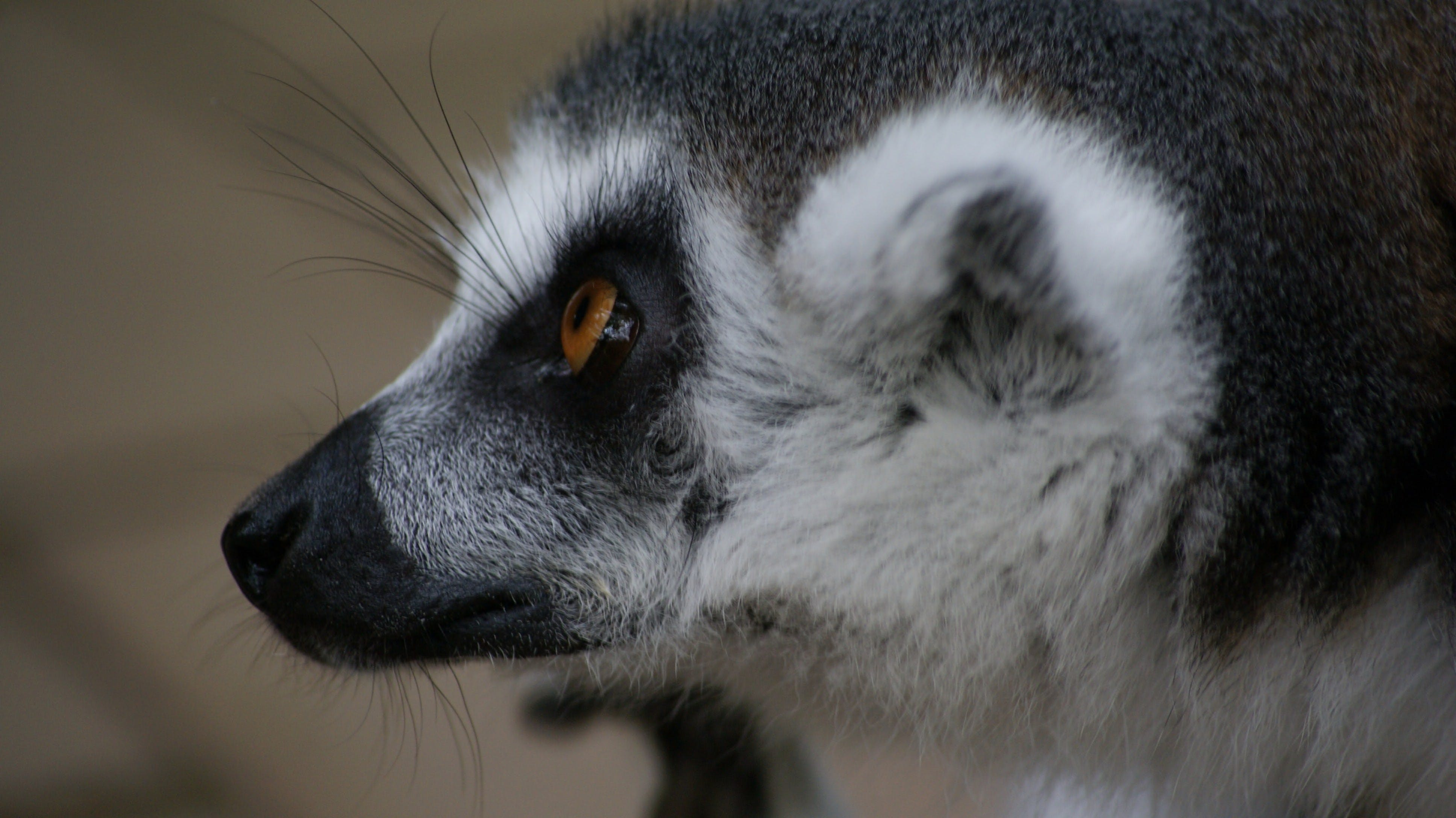 Free stock photo of animal, close-up view, close to, lemur catta
