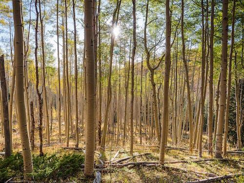 Free stock photo of aspen, aspen trees, aspens