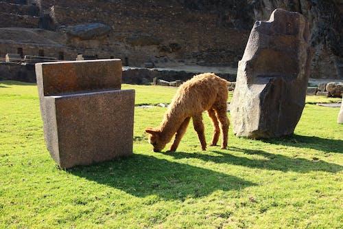 動物, 廢墟, 野生動物, 駱駝 的 免費圖庫相片