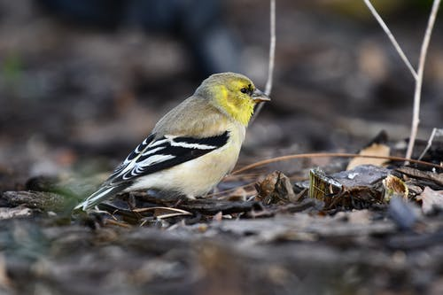 Macro Photography of a Yellow-Finch