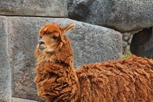harabeler, hayvan, lama, vahşi yaşam içeren Ücretsiz stok fotoğraf