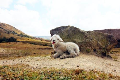 doğa, hayvan, koyun, vahşi yaşam içeren Ücretsiz stok fotoğraf