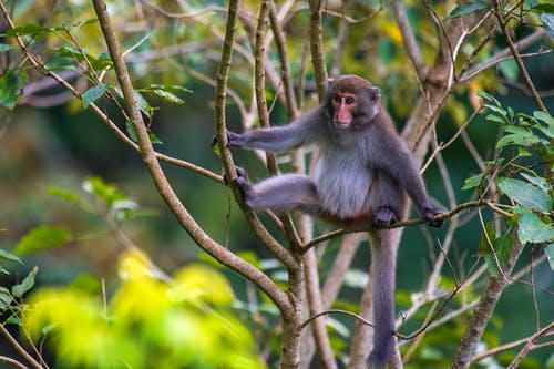Close-Up Shot of a Macaque on a Tree Branch
