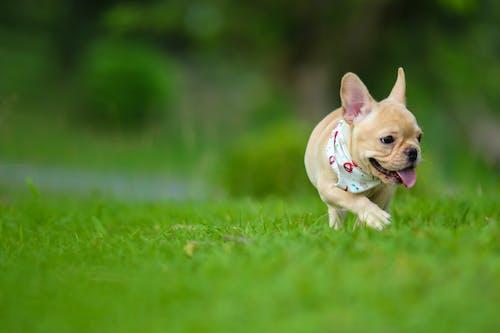Close-Up Shot of a Cute Pug Running on a Grassy Field