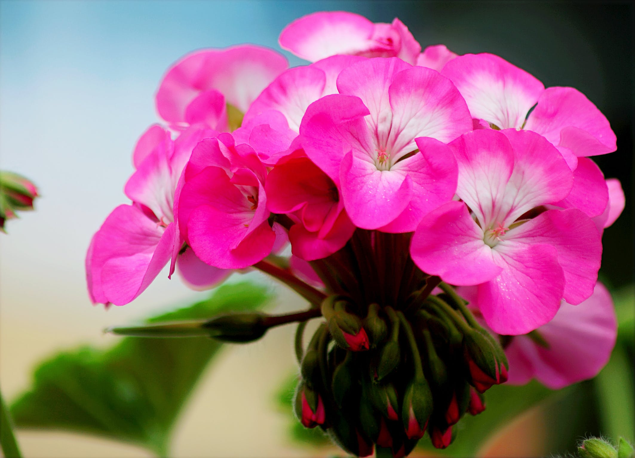 Close-up Photo of Blooming Pink Petaled Flowers